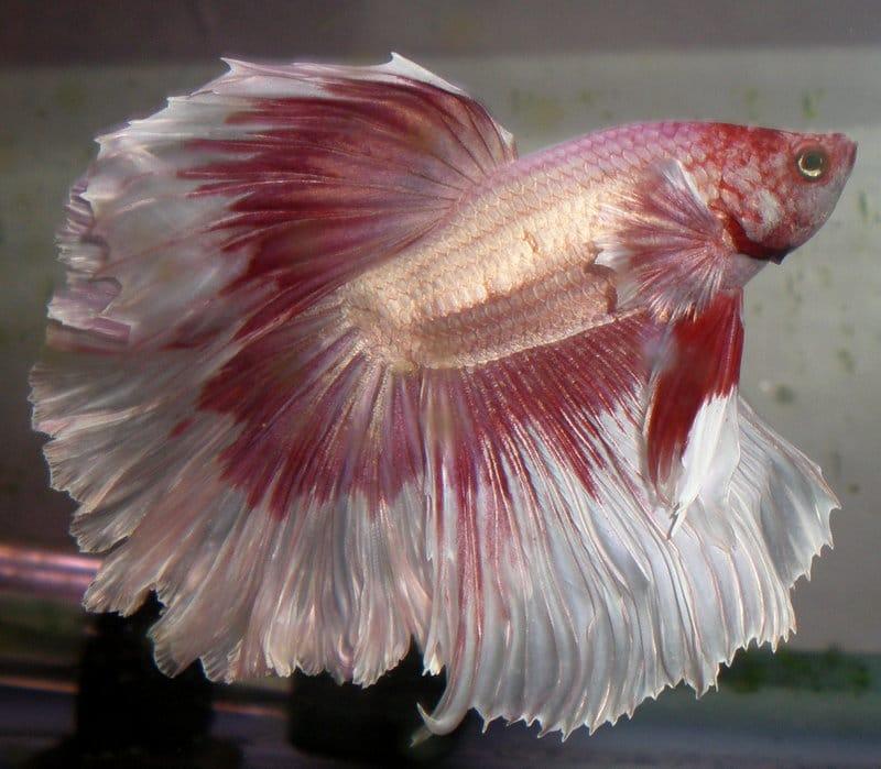 Roze met wit, de Betta Splendens is er in vele kleuren. Mooi!