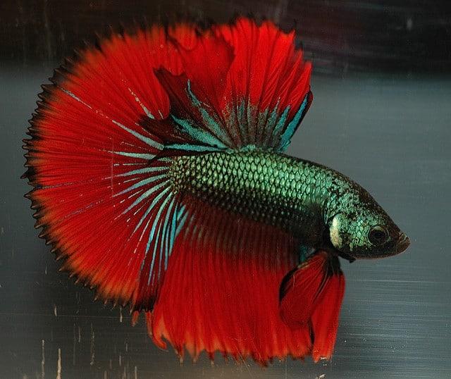 een-kempvis-spreidt-zijn-prachtige-rode-vinnen