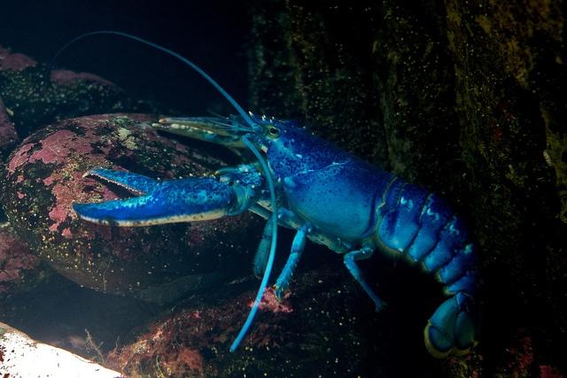 De fel blauwe kreeft steekt mooi af tegen donkere aquariumdecoratie