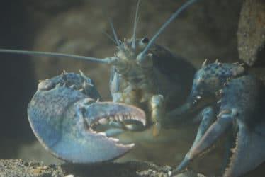 De scharen van de blauwe florida kreeft kunnen menig visje vangen. Zorg dus voor de juiste aquariumbewoners. Je leest het hier