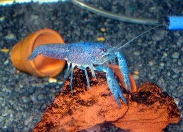 Steenconstructies zijn perfect als aquariumdecoratie voor blauwe kreeften