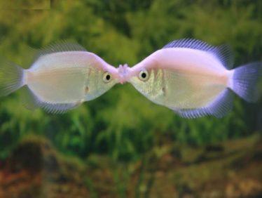 Twee Zoenvissen strijden om hun recht op voortplanting