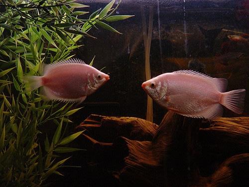 twee-roze-zoenvissen-in-een-aquarium