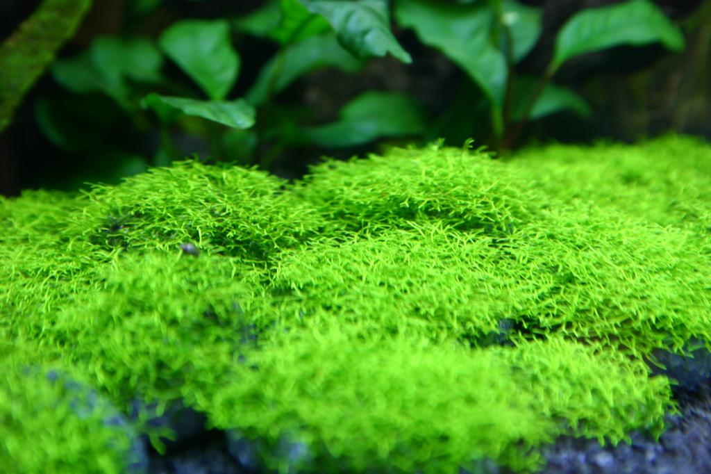 Watervorkje aquascape plant