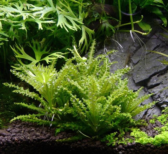 Een bijzondere aquascape toevoeging is Pogostemon met gekartelde blaadjes