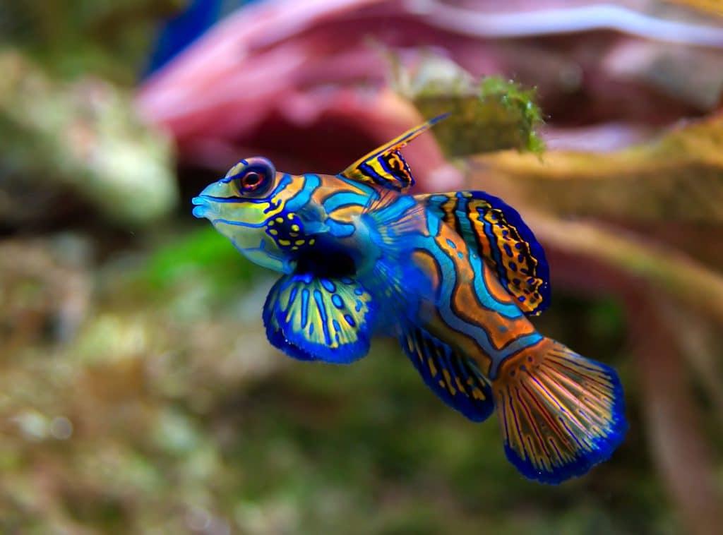 Blauwe mandarijn pitvis