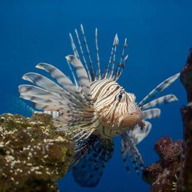 Grote koraalduivel in een zoutwater aquarium (zoutwatervissen)