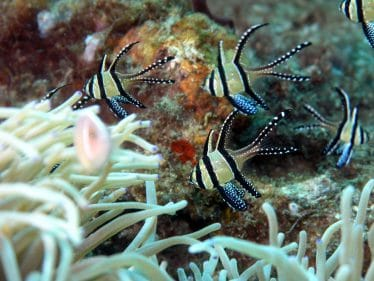 Juweel kardinaalbaars in een zoutwater aquarium (zoutwatervissen)
