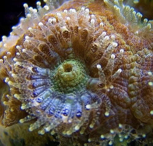Acanthastrea zoutwater aquarium