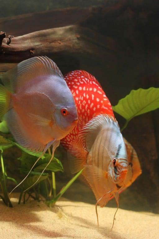 Discusvissen zijn er in veel kleuren