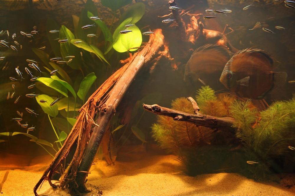 Paartje disccusvissen bij ekaar