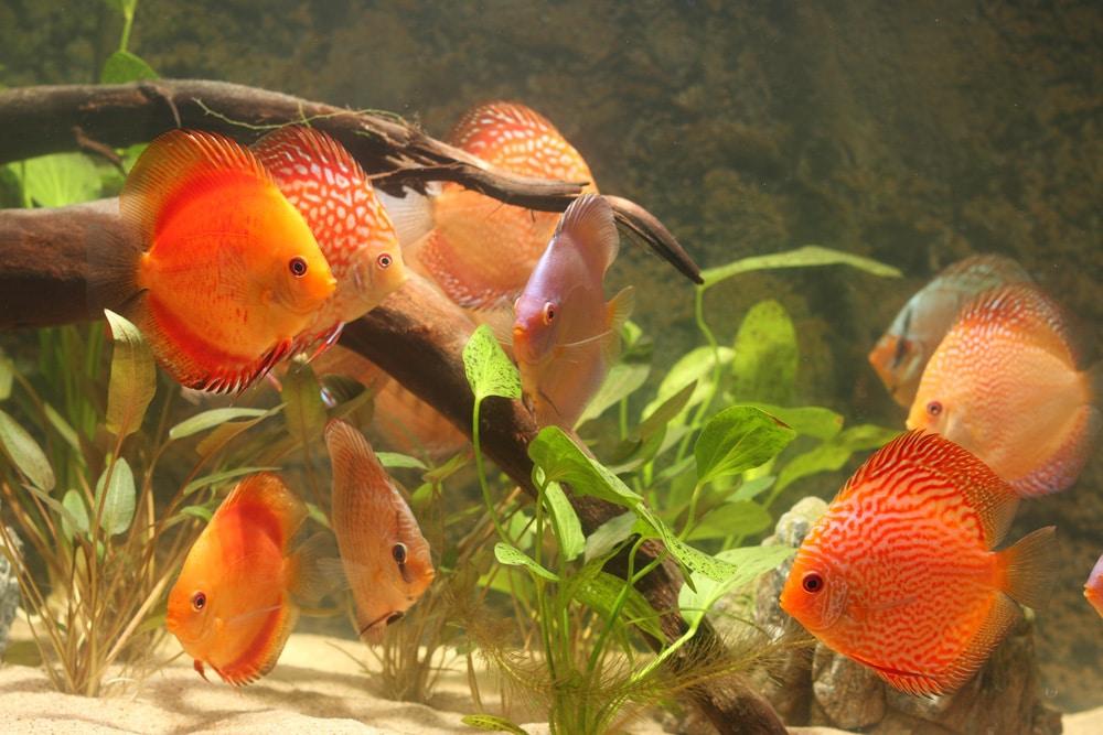 Rode Discusvissen zijn mooi om naar te kijken