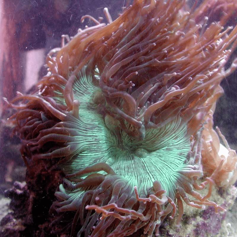 flowerkoraal