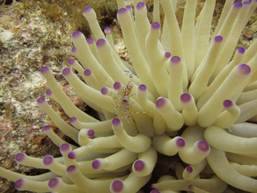 Pink tip anemoon - Condylactis Gigantea Zoutwater aquarium