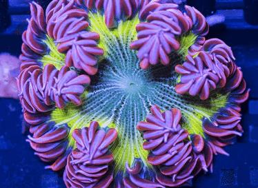 Rotsanemoon - Phymanthus Crucifer Zoutwater aquarium