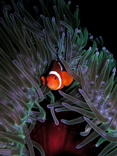 Symbiose anemoon - Heteractis Crispa Zoutwater aquarium Anemonen