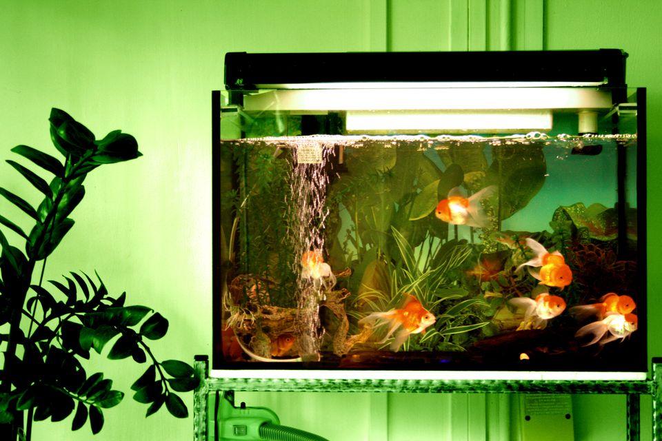teveel goudvissen in een aquarium