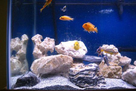 Cichliden in mijn aquarium