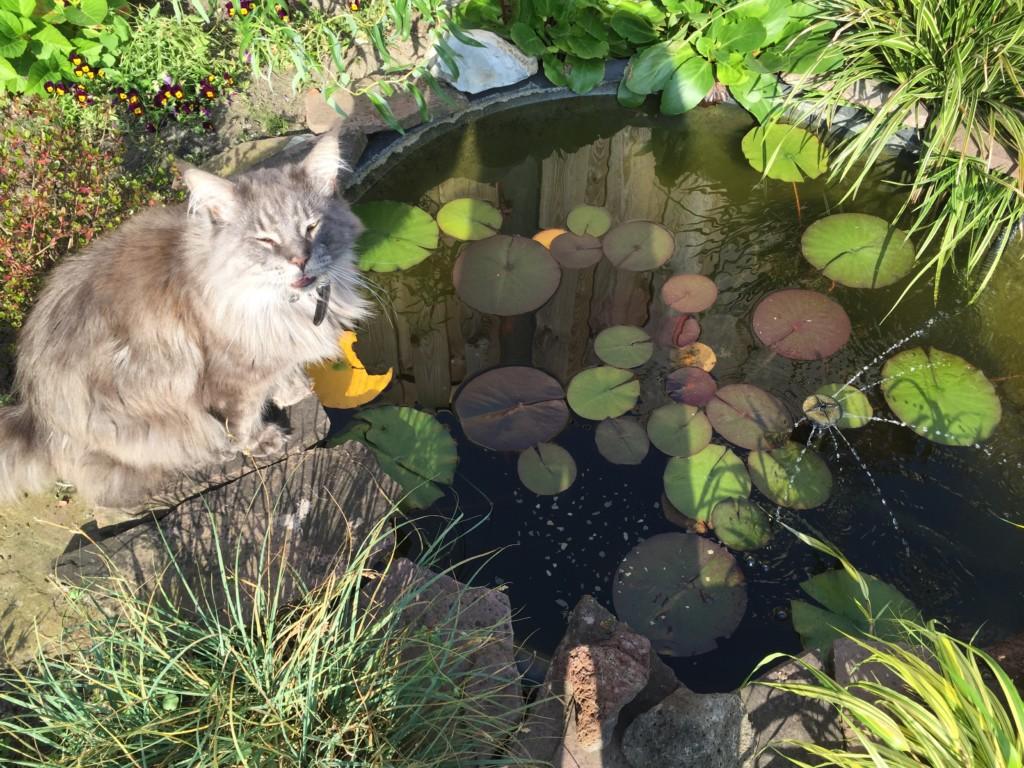 Onze kat is dol op de vijver ook.