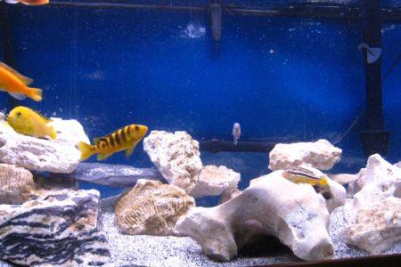 Gestreepte cichliden in het aquarium