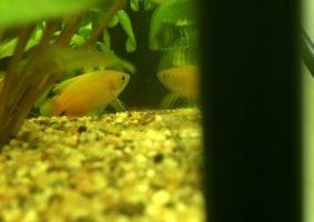Een leuk, wat schuw visje. Beweegt zich langzaam door het water. Prachtig van kleur.