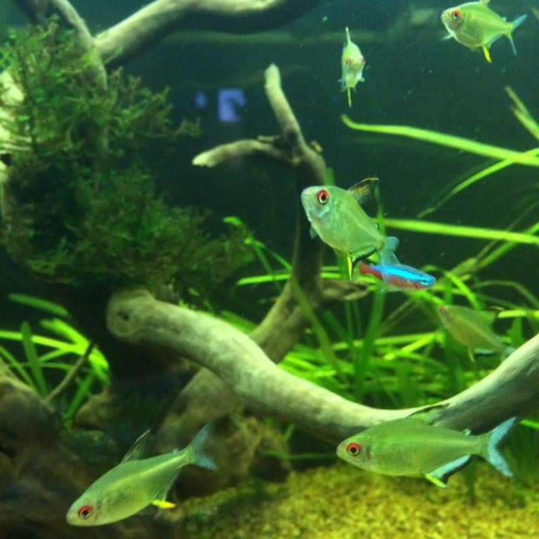 9 citroen tetra's. Leuke visjes. Zwemmen graag in groepjes tegen de stroom in.