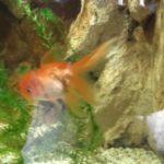 Een andere goudvis