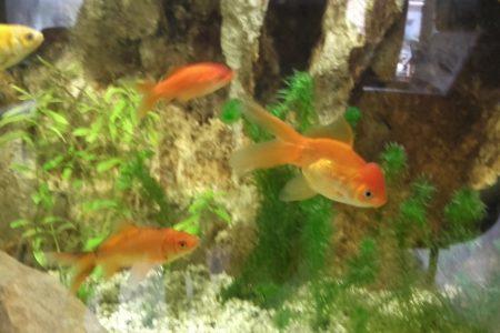 Goudvissen zijn leuke aquarium bewoners