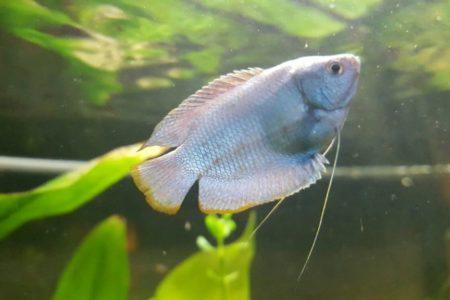 Dwerg gourami cobalt bleu