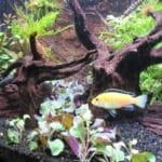 Straatje gemaakt van het Leids plantje. Labidochromis caeruleus poseert even voor het plaatje :)