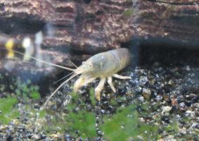 Een schuwe bewoner, maar sinds mijn aquarium opknapt laat hij zich weer wat vaker zien! :D
