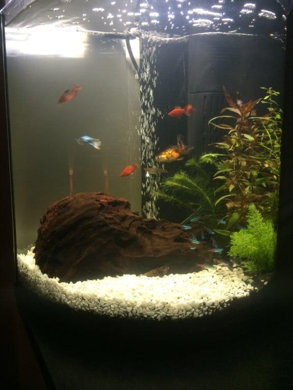 Tetra halfmoon 60L met de goudvis