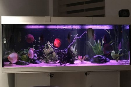 Avond discus aquarium