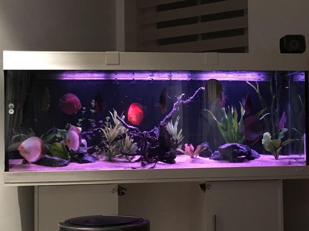 De avond look, in een heringericht discus aquarium