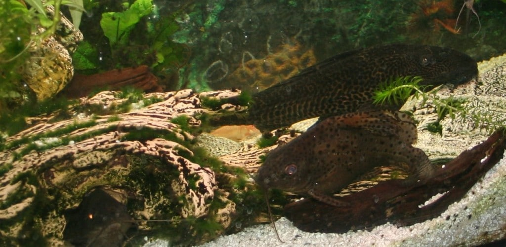 Hypostomus Plecostomus 30cm. is al 16 jr oud en knipoogt