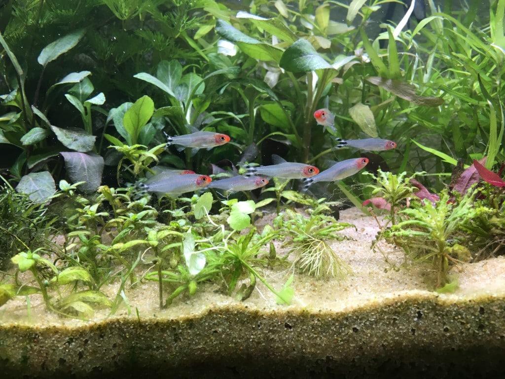Roodkopzalmpjes