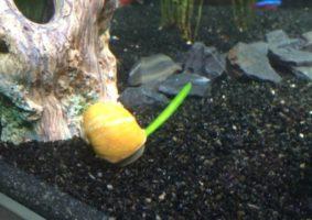 1 van de 2 planterende slakken
