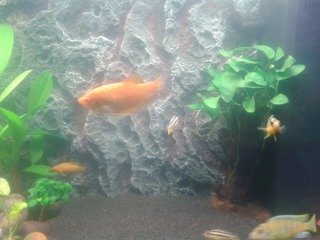 diamantgourami