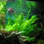 Ander koppel maanvissen in mijn aquarium