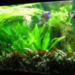 Altijd al mooi gevonden, één van de twee koppeltjes in mijn aquarium