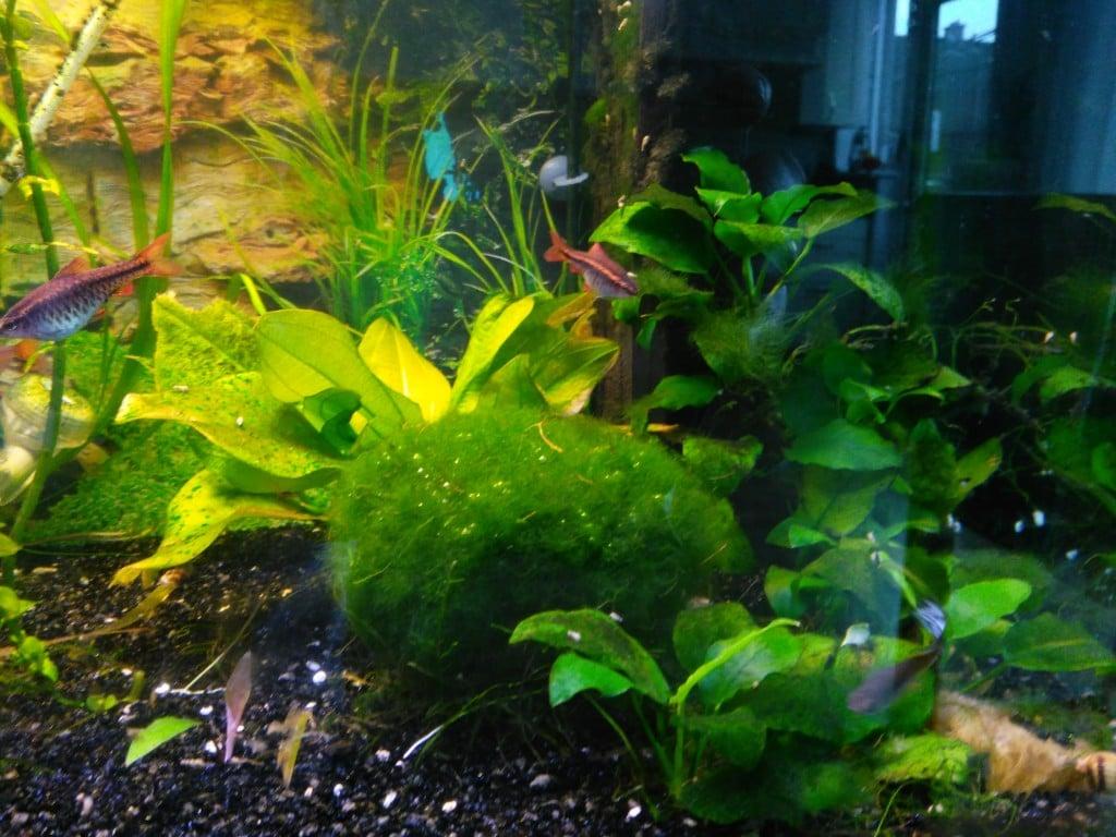 op deze foto is de anubias te zien, en nog een aantal planten, rondom de pomp.