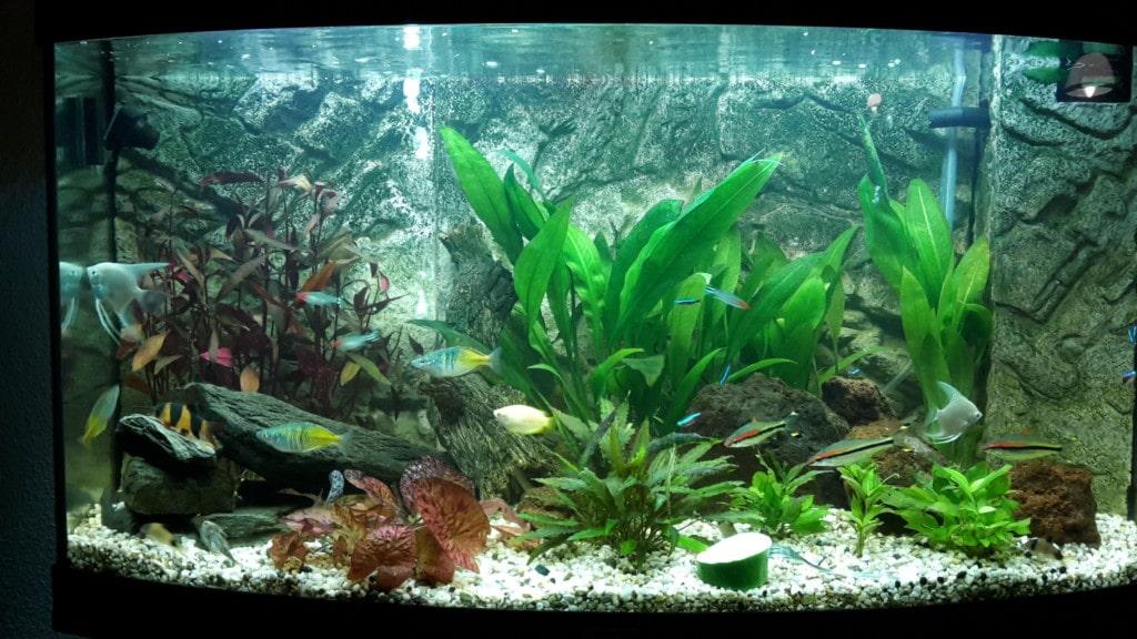 maanvisse ,corydoras panda,torpedo barbelen neon tetra ,roodkop zalm ,regenboom zalm ,chinese algeneter,goudborstelmeerval,