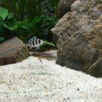 Julidochromis