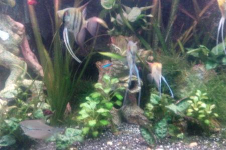 Onze maanvissen en gouramies