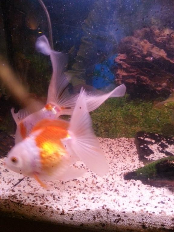Ze zijn nogal dik maar zijn dat al 2/3jaar na ze uit de vijver de aquarium in zijn gekomen.