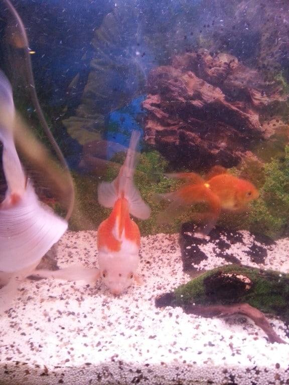 De goudvis : wiebeltje omdat hij waggelend zwemt.