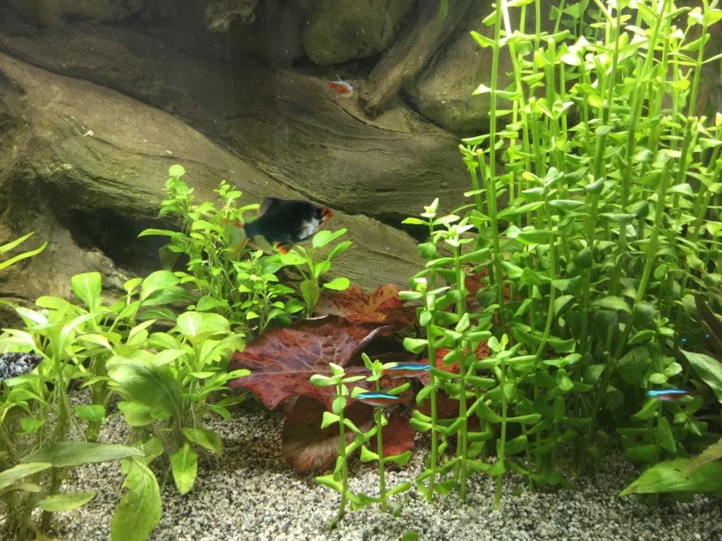 Tijgerlotus met groene sumatraan