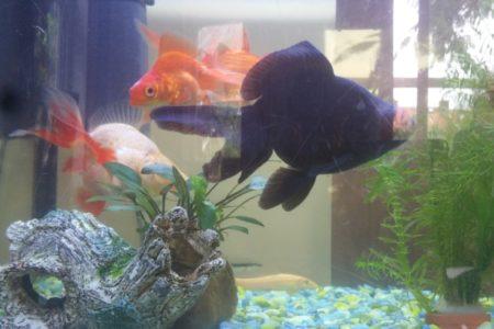 Een indruk van mijn visjes