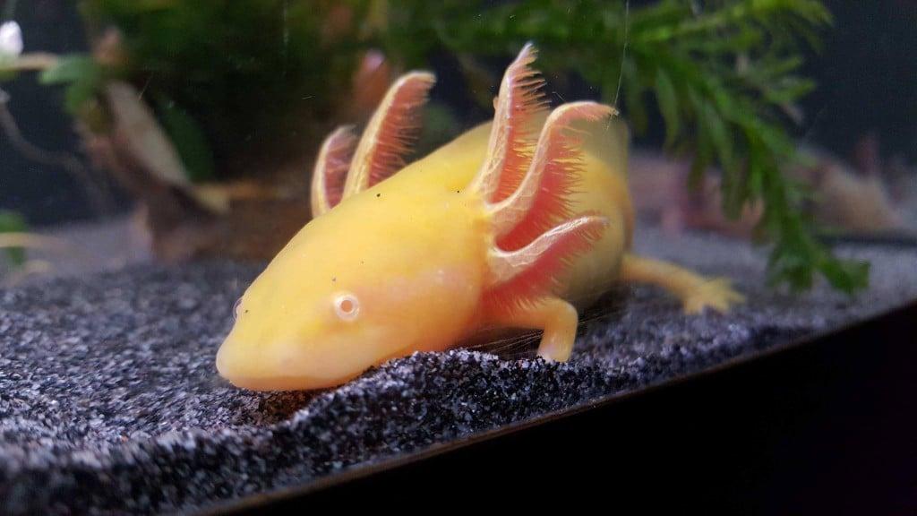 Dragon, aan het rusten. Dit is moeilijk te zien, want axolotls hebben geen oogleden.