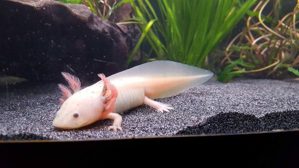 Axolotl 3